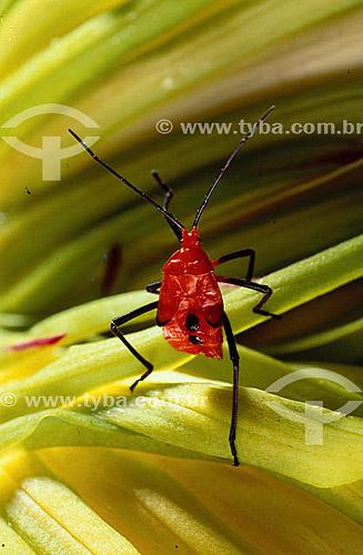 (Coreidae) - percevejo vermelho sobre folhas verde - Amazônia - Brasil