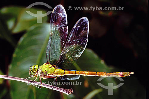 Libélula -  Lavadeira - Amazônia - Brasil