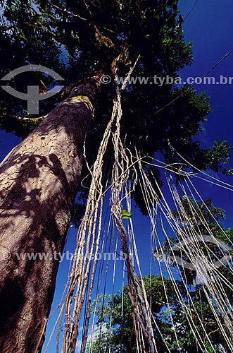 Raízes aérea da Imbé Liana - Amazônia - Brasil