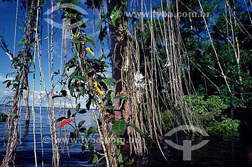 Raízes de Cipó Imbé - Amazônia - Brasil
