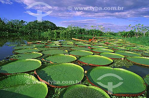 Assunto: Vitória-Régia (Victoria amazonica) no Parque Ecológico do Lago do January / Local: Manaus (AM) - Brasil / Data: 07/2001