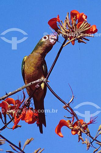 (Aratinga cactorum) Periquito-da-caatinga - Caatinga - Brasil