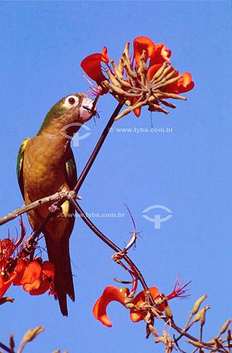 (Aratinga cactorum) Periquito-da-caatinga perto de flores vermelhas - Caatinga - Brasil