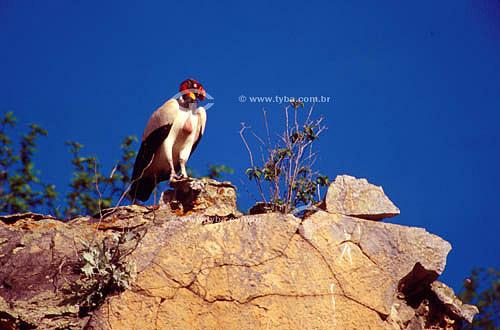 (Sarcoramphus papa) Urubu-rei sobre pedra- Caatinga - Brasil