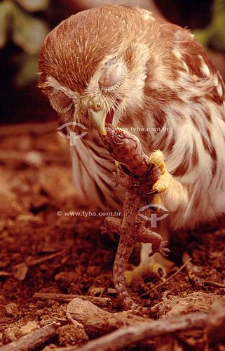 (Glaucidium brasilianum) Caburé-ferrugem comendo uma lagartixa - Caatinga - Brasil