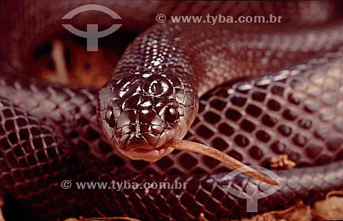 (Clelia occipitolutea) Muçurana - Cobra - Caatinga - Brasil