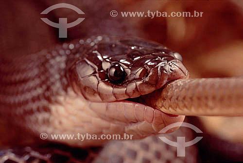 (Clelia occipitolutea) Muçurana comendo   - Cobra - Caatinga - Brasil