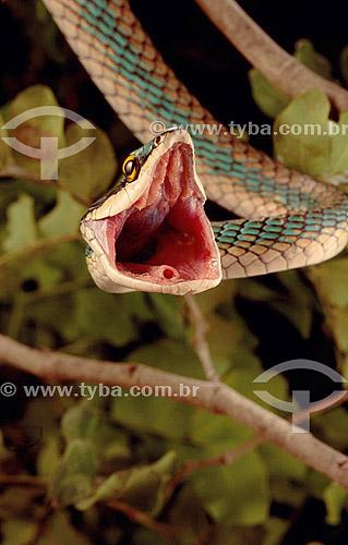 (Leptophis ahaetulla) Cobra-cipó, cobra sem veneno com a boca aberta - cobra da Caatinga - Brasil