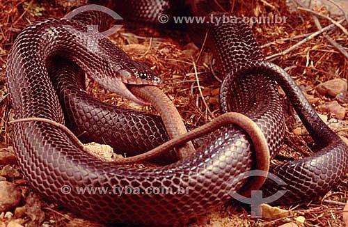 (Clelia occipitolutea) Muçurana comendo uma Cobra-Cipó - Caatinga - Brasil