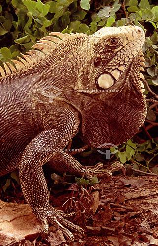 (Iguana iguana) Iguana Verde ou Sinimbu - lagarto - Caatinga - Brasil