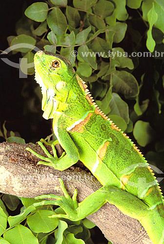 (Iguana iguana) Iguana Verde ou Sinimbu (lagarto jovem) - Caatinga - Brasil