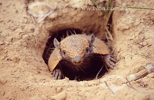 Assunto: (Euphractus sexcinctus) Tatu-peba ou Tatu-peludo dentro da toca - Caatinga / Local: Quixadá - Ceará (CE) - Brasil