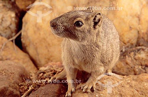 Assunto: Mocó - (Kerodon rupestris) - mamífero roedor da família dos cavídeos muito semelhante com preá / Local: Central - Bahia (BA) - Brasil / Data: 1994
