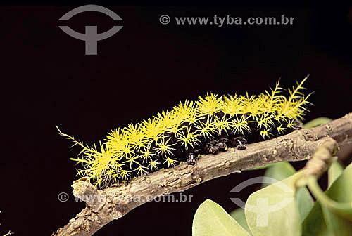 (Lepidoptera saturniidae) Taturana - lagarta - Caatinga - Brasil