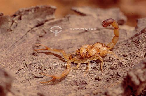 (Tytios) - Escorpião carregando filhotes - Caatinga - Brasil