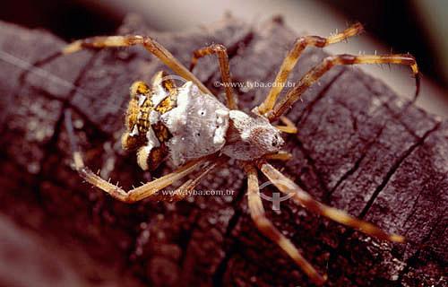 (Argiope argentata) Argíope Prateado - aranha de jardim - Caatinga - Brasil
