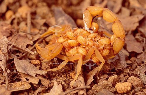 (Tityus Stigmurus) - Escorpião carregando filhotes - Caatinga - Brasil