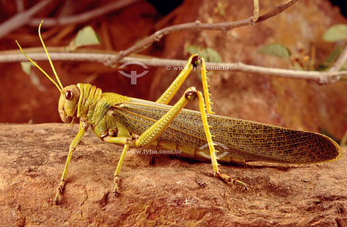 (Tropidacris cristata) - gafanhoto - Caatinga - Brasil