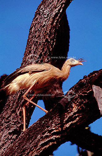(Cariama cristata, Cariamidae) Siriema , Seriema - Brasil