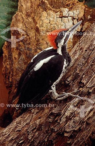 (Dryocopus lineatus) Pica-Pau-de-Banda-Branca - Cerrado - Brasil