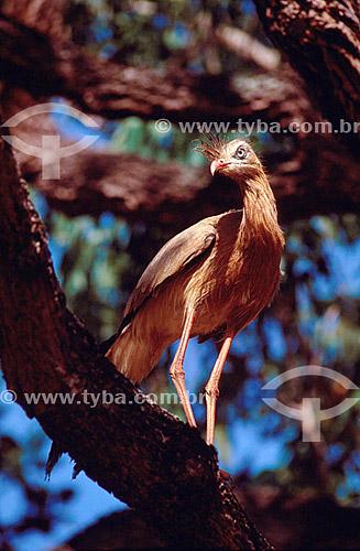 (Cariama cristata,  Cariamidae) Siriema ou Seriema - pássaro - Brasil