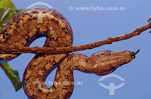 (Boa constrictor) - Jibóia - Cerrado - Brasil