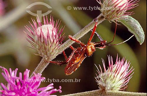 (Vernonia compositae) (Apiomerus sp.) - Percevejo em Vassourão - Cerrado - Brasil