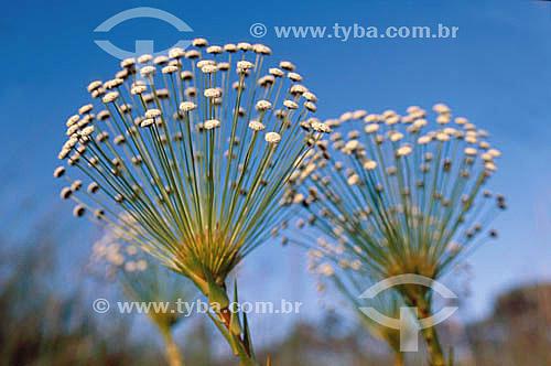 (Euriocaulaceae) Sempre-Vivas - flor do Cerrado - Brasil