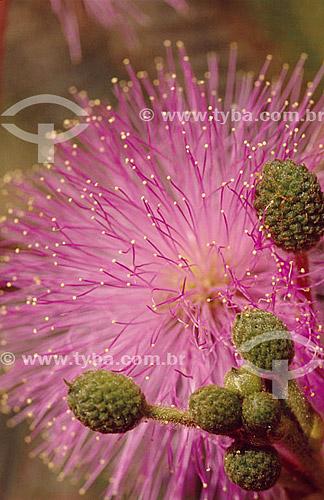 (Leguminosae) Flor da Mimosa - Cerrado - Brasil