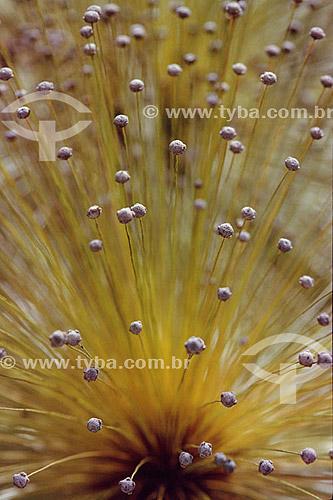 (Euriocaulaceae) Sempre-Vivas - flor - Cerrado - Brasil
