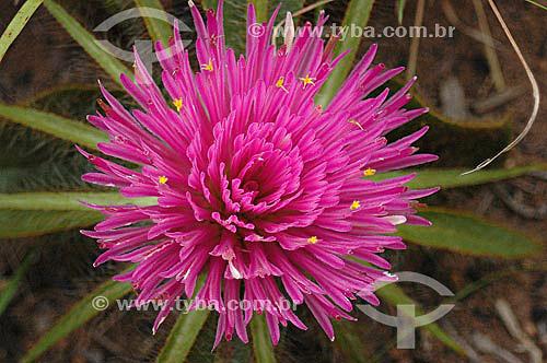 Flor do Cerrado - Parque Nacional das Emas  - GO - Brasil / Data: 2005  O Parque é Patrimônio Mundial pela UNESCO desde 16-12-2001.