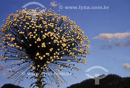 Sempre-Vivas - Flor do Cerrado - Brasil