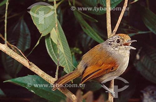 (Machaeropterus regulus) Tangará-Rajado ou Dançarino-de-Coroa-Vermelha (fêmea) - Mata Atlântica - Brasil