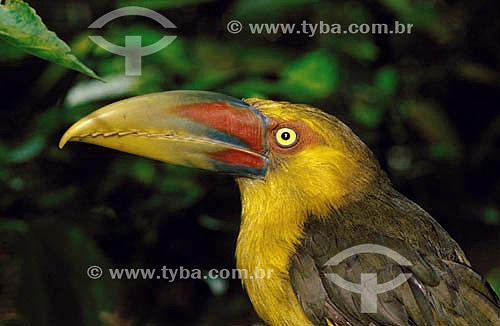 (Baillonius bailloni) Araçari-Banana - Mata Atlântica - Brasil