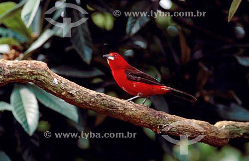 (Ramphocelus brasilius) Tiê-Sangue - Mata Atlântica - Brasil