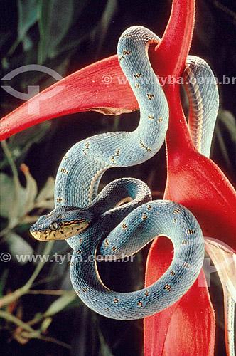 (Bothrops bilineata) Jararaca Verde - Mata Atântica - Brasil