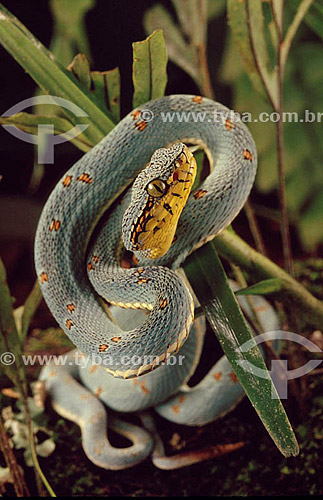 (Bothriopsis bilineata) Jararaca Verde - Mata Atântica - Brasil