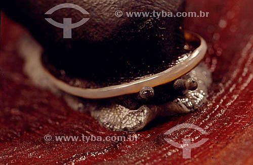(Megalobulimus) Caramujo Terrestre - Mata Atlântica - Brasil