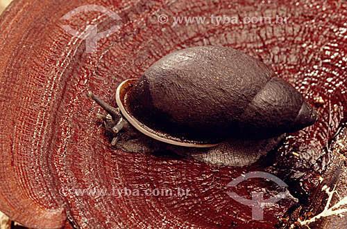 (Megalobulimus) Caramujo Terrestre - Mata Atlântica /  Local: Brasil / Data: 1995