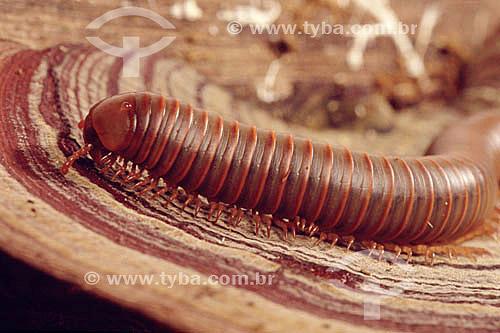 (Julus spp) Piolho de Cobra, Gôngulo - Mata Atlântica - Brasil