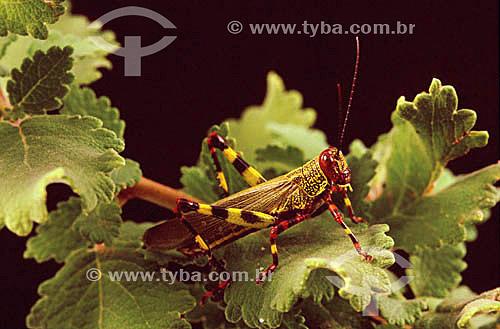 (Tropidacris collaris) - gafanhoto - Mata Atlântica - Brasil