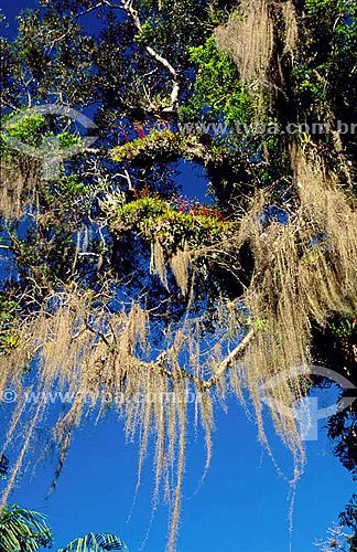 (Tillandsia usneoides) Barba-de-velho - planta - Mata Atlântica - Brasil