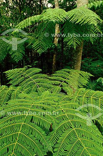 (Alsophila armata) Samambaia-gigante ou Samambaiaçu - Itatiaia - RJ - Brasil   - Itatiaia - Rio de Janeiro - Brasil