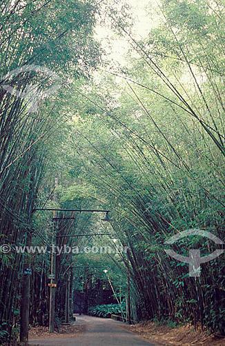 Bambus na Floresta da Tijuca  - Mata Atlântica - Rio de Janeiro - RJ - Brasil  Patrimônio Histórico Nacional desde 27-04-1967.  - Rio de Janeiro - Rio de Janeiro - Brasil