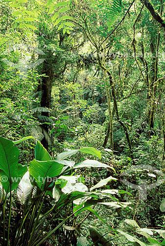 Floresta densa com grande diversidade - Mata Atlântica  - Parque da Cidade Intervales - SP - Brasil  - São Paulo - Brasil