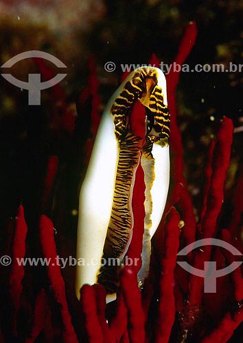 Gastrópode alimentando-se de Gorgônia - Mar - Florianópolis - Santa Catarina - Brasil - 2007  - Florianópolis - Santa Catarina - Brasil
