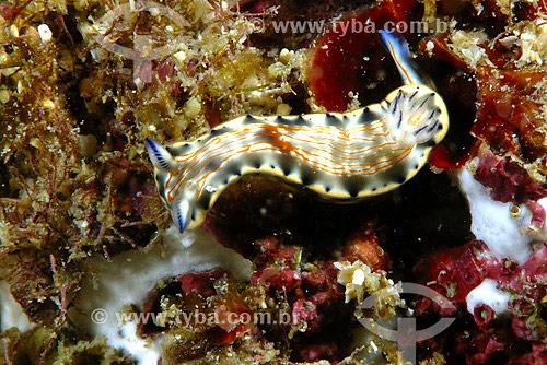 Molusco Nudibrânquio (Hypselodoris sp.) - Cabro Frio - RJ - Brasil - 2007  - Cabo Frio - Rio de Janeiro - Brasil
