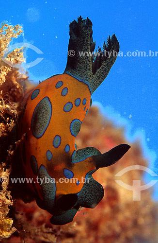 Molusco Nudibrânquio (Hypselodoris sp.) - Arraial do Cabo - RJ - Brasil - 2007  - Cabo Frio - Rio de Janeiro - Brasil