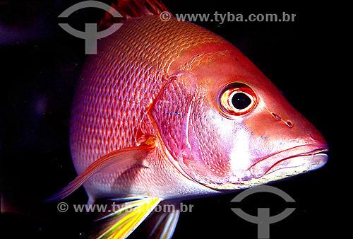 Peixe Vermelho Baúna (Lutjanus jocu) - Abrólhos - BA - Brasil - 2007  - Caravelas - Bahia - Brasil