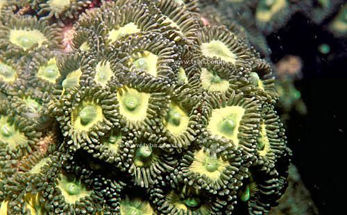 Coral Mole Zoantídeo ( Zoanthus sociatus) - Recife de Itacolomis - próximo à Cumuruxatiba - litoral sul da Bahia - Brasil  A área denominada Costa do Descobrimento (Reserva da Mata Atlântica) é Patrimônio Mundial pela UNESCO desde 01-12-1999 e nela estão localizadas 23 áreas de proteção ambiental na Bahia (incluindo Porto Seguro).  - Porto Seguro - Bahia - Brasil